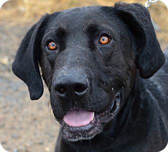 Great Dane/Labrador Retriever Mix Dog for adoption in Gardnerville, Nevada - Dooley