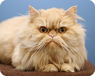 Persian Cat for adoption in Bellingham, Washington - Reginald