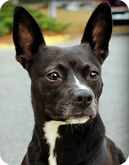 Boston Terrier Mix Dog for adoption in North Augusta, South Carolina - MOLLY
