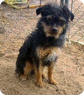 Glen of Imaal Terrier/Australian Terrier Mix Dog for adoption in Ranger, Texas - Nutmeg