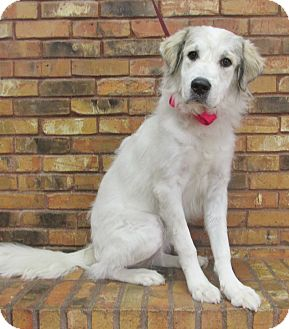 Great Pyrenees Mix Dog for adoption in Benbrook, Texas - Layla