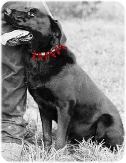 Labrador Retriever Mix Dog for adoption in Alfred, Maine - B-I-N-G-O