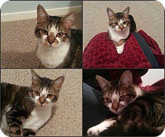 Domestic Shorthair Cat for adoption in Arlington/Ft Worth, Texas - Daisy Mae