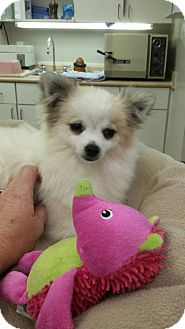 Pomeranian Puppy for adoption in Mary Esther, Florida - Pearl