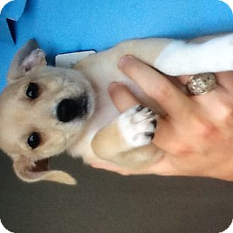 Chihuahua/Yorkie, Yorkshire Terrier Mix Puppy for adoption in Palm Bay, Florida - Socks