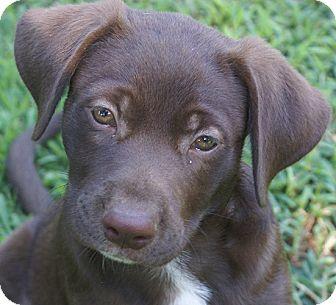 Labrador Retriever Mix Puppy for adoption in Hagerstown, Maryland - Choco