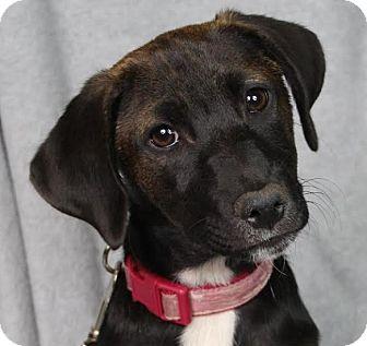 Retriever (Unknown Type) Mix Puppy for adoption in Minneapolis, Minnesota - Gage