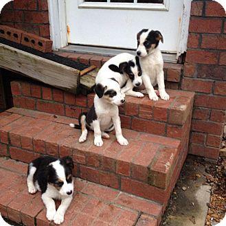 Australian Shepherd/Collie Mix Puppy for adoption in Lebanon, Tennessee - SOPHIES LITTER jill