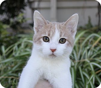 Turkish Van Kitten for adoption in Newport Beach, California - SAILOR