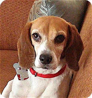 Beagle Dog for adoption in Houston, Texas - Andrea - adorable
