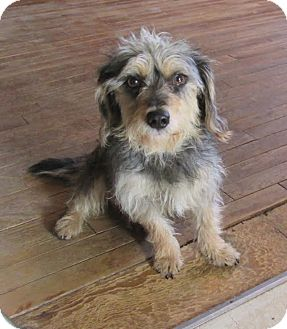 Schnauzer (Miniature)/Dachshund Mix Dog for adoption in West Warwick, Rhode Island - Geiger