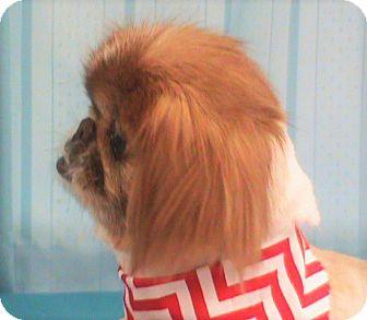 Pekingese Dog for adoption in Maynardville, Tennessee - Courtney