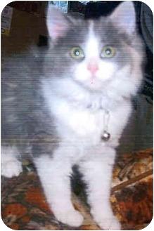 Domestic Longhair Cat for adoption in Owatonna, Minnesota - Shylee