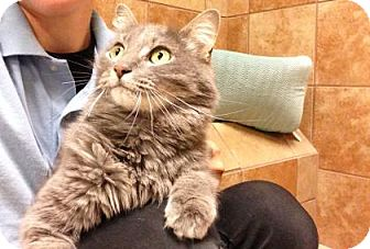 Domestic Mediumhair Cat for adoption in Plymouth Meeting, Pennsylvania - Nylah