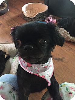Pekingese/Japanese Chin Mix Dog for adoption in Greensboro, Maryland - London