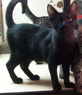 Domestic Shorthair Kitten for adoption in Morriston, Florida - CLARK