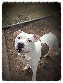 Labrador Retriever Mix Dog for adoption in Brookhaven, New York - Randy