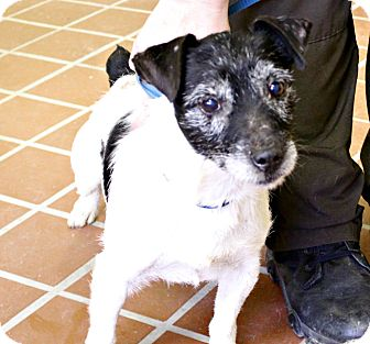Jack Russell Terrier Mix Dog for adoption in White Cloud, Michigan - Whiskers