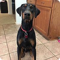 Adopt A Pet :: Kain - Fort Worth, TX