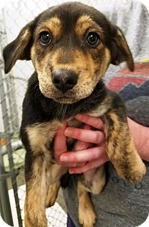 Labrador Retriever Mix Puppy for adoption in Kalamazoo, Michigan - Lassie
