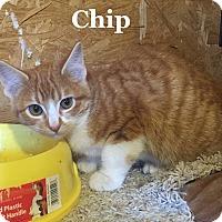 Adopt A Pet :: Chip - Bentonville, AR