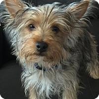 Adopt A Pet :: Cooper - Las Vegas, NV
