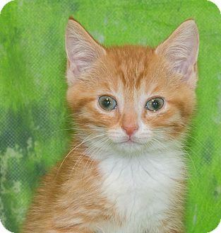 Domestic Shorthair Kitten for adoption in Elmwood Park, New Jersey - Logan