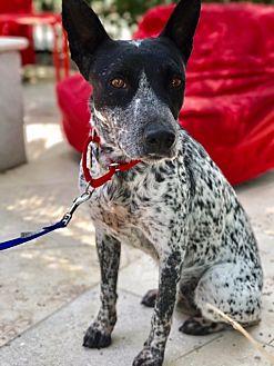 Cattle Dog Dog for adoption in Studio City, California - Greta