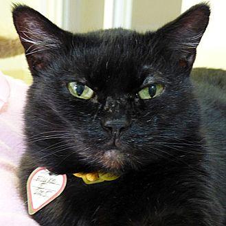 Domestic Shorthair Cat for adoption in Washougal, Washington - Fluke