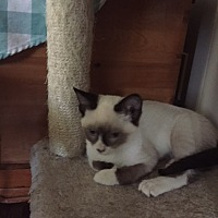 Adopt A Pet :: Kitten - Ling Ling - DeLand, FL