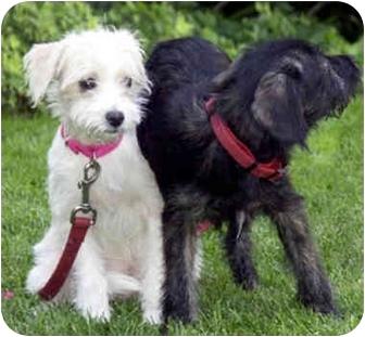 Terrier (Unknown Type, Medium)/Maltese Mix Puppy for adoption in Marina del Rey, California - Precious