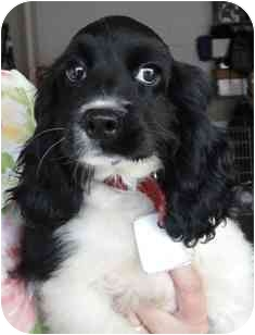 Cocker Spaniel Puppy for adoption in Wildwood, Missouri - Julie