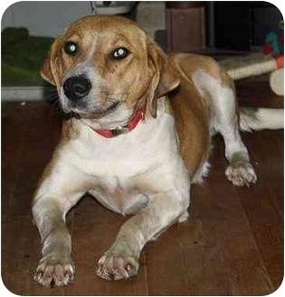 Hound (Unknown Type) Mix Dog for adoption in Homer, New York - Phoebe