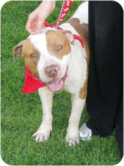 English Bulldog/American Staffordshire Terrier Mix Dog for adoption in Burbank, California - VALENTINO