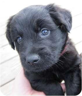 Labrador Retriever Mix Puppy for adoption in Plainfield, Illinois - Malakai