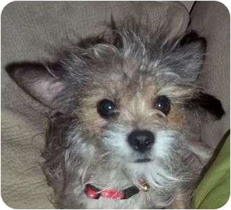 Cairn Terrier/Terrier (Unknown Type, Small) Mix Puppy for adoption in Plainfield, Connecticut - Rochelle