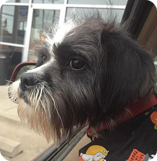 Schnauzer (Standard)/Shih Tzu Mix Puppy for adoption in Conway, Arkansas - Rocket