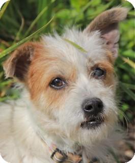 Fox Terrier (Wirehaired)/Cairn Terrier Mix Dog for adoption in Norwalk, Connecticut - Mackenzie - adoption pending