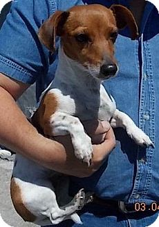 Dachshund/Jack Russell Terrier Mix Dog for adoption in Gainesville, Florida - Willow