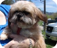 Shih Tzu Mix Dog for adoption in Staunton, Virginia - Biggy Boy