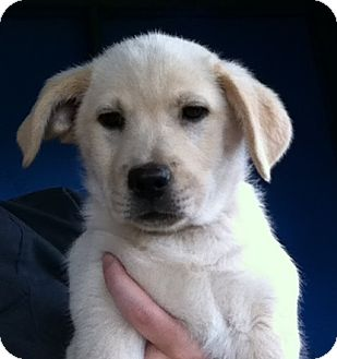Labrador Retriever/Border Collie Mix Puppy for adoption in Gainesville, Florida - Whitley
