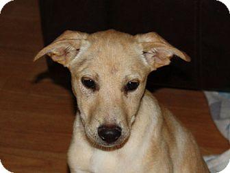 Labrador Retriever/Terrier (Unknown Type, Medium) Mix Dog for adoption in Marion, Arkansas - Justice-PENDING