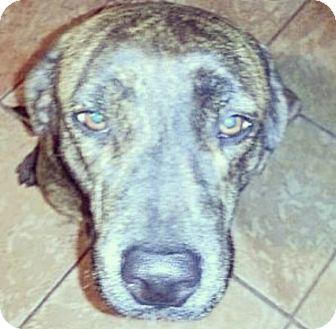Labrador Retriever/Mastiff Mix Dog for adoption in Miami, Florida - Reeses