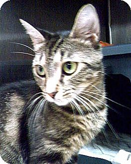 Domestic Shorthair Cat for adoption in Webster, Massachusetts - Azna