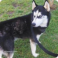 Adopt A Pet :: Avalanche - Jacksonville, FL