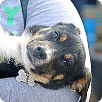 Adopt A Pet :: Joey - Somers, CT