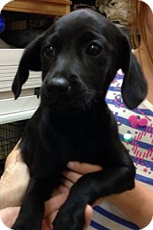 Golden Retriever/Toy Poodle Mix Puppy for adoption in Thousand Oaks, California - Chocolate Chip