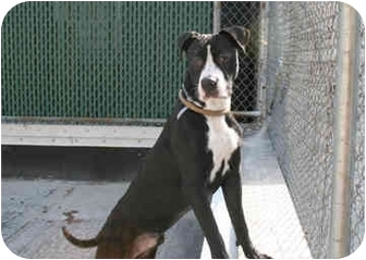 American Staffordshire Terrier/Great Dane Mix Dog for adoption in Long Beach, New York - Sammy