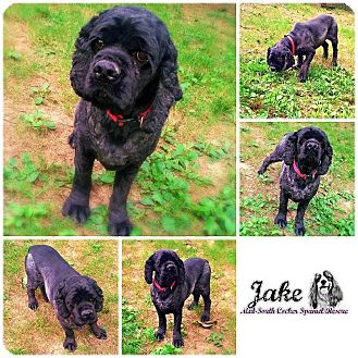 Cocker Spaniel Dog for adoption in Memphis, Tennessee - Jake