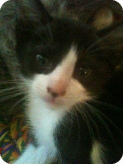 Domestic Mediumhair Kitten for adoption in San Marcos, Texas - hondo